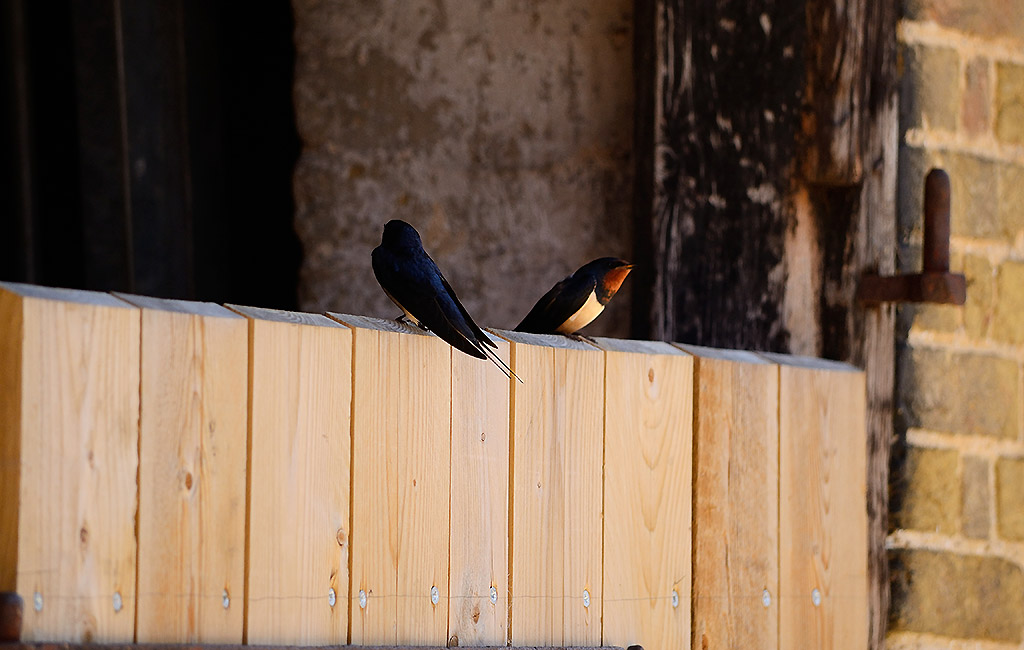 Birds perched on stable door at Willow Tree Farming.