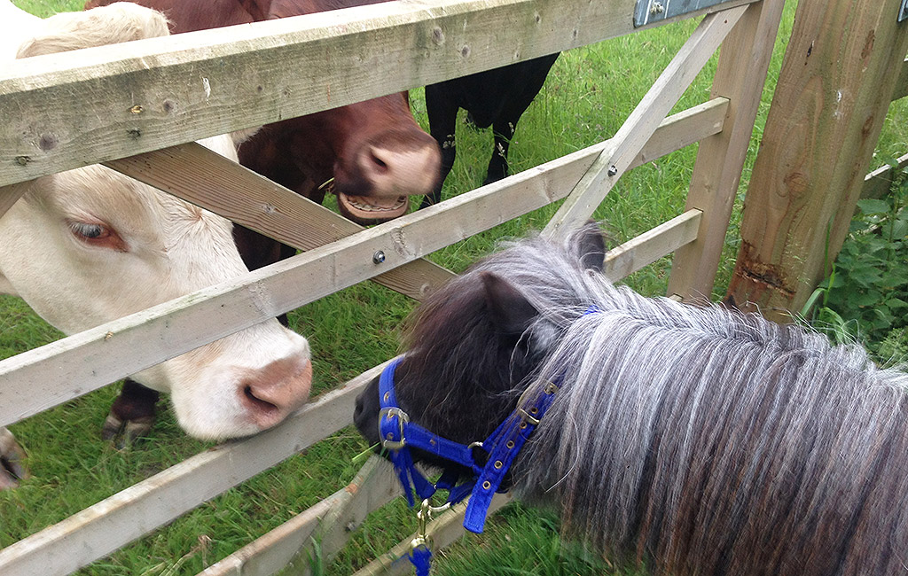 Pony with cows at Willow Tree Farming.